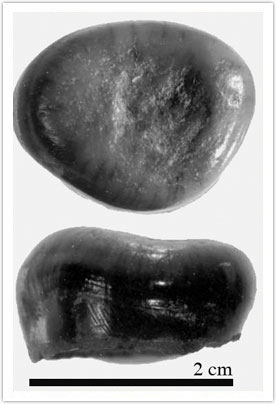 Figure 3: Large molariform teeth dorsal and lateral view